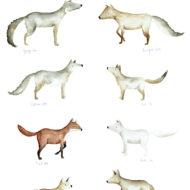 A3 Foxes lina lofstrand