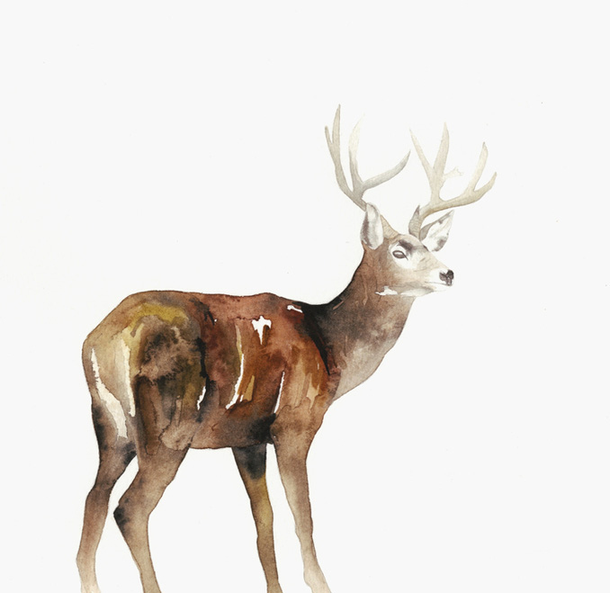 Deer Study - Lindsay McDonagh