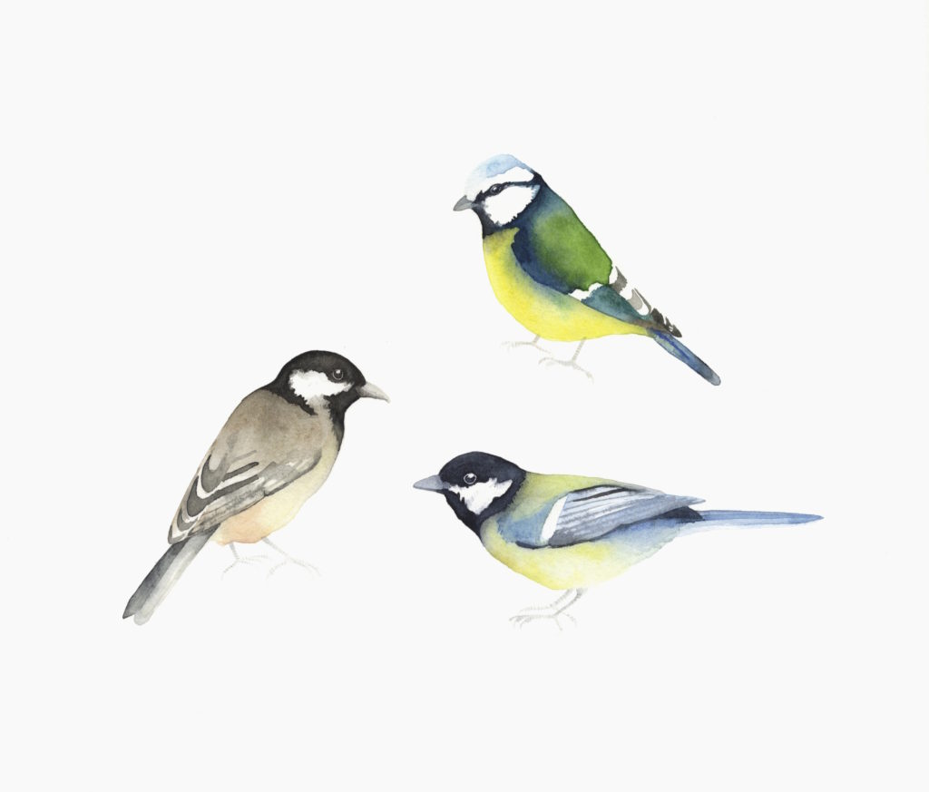 Blue Tit, Great Tit And Coal Tit - Lindsay McDonagh