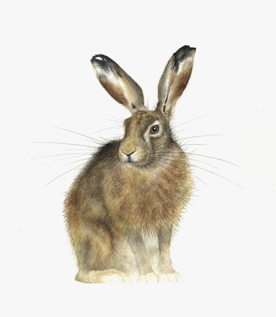 Sitting Hare - Lindsay McDonagh